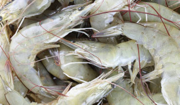 Indian Shrimp exports set to flourish.